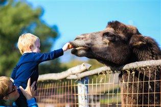 Сам кормлю верблюда(подтверждение фотографии)