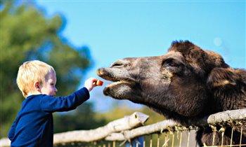 я сам кормлю верблюда