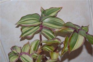 Callisia congesta variegata