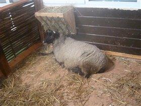 печальная овечка