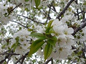 Черешневое цветение