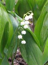 Ландыш - символ весны и любви