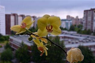 Орхидея под дождём