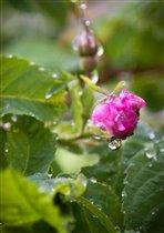 шиповник и дождь
