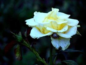Жёлтая роза.....