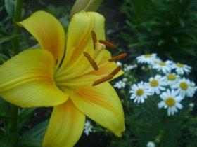 желтая красавица