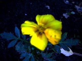 Желтый вечерний цвет