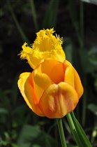 Жёлтая бахрома