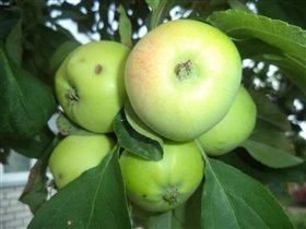 Яблочки с нашего огорода