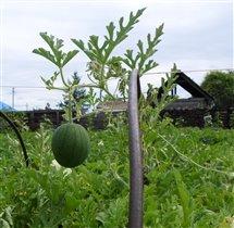 Забайкальский фрукт.