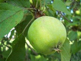 Яблочки подрастают