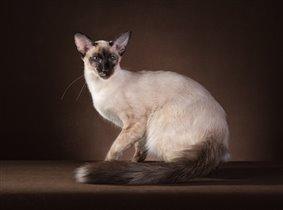 Zara - балийская кошка