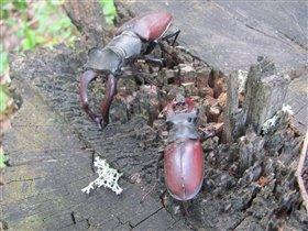 жуки носороги