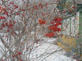 калина красная на морозе