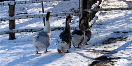 Снежные гуси