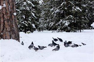 Снежные голубки