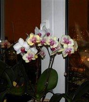 мои любимицы-орхидеи