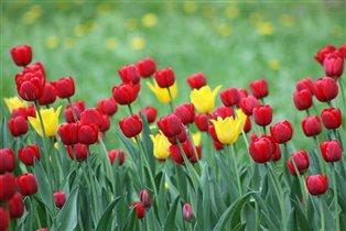 Скоро наступит пора тюльпанов!