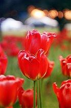 тюльпановый закат