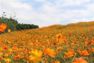Оранжевое поле цветов космеи!!!!