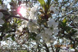 Солнечный зайчик на ветке вишни