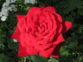 Роза красная моя
