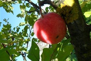 Наливное яблочко