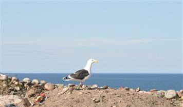 Териберская чайка на берегу Баренцева моря