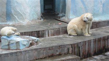 Белая медведица с медвежонком.