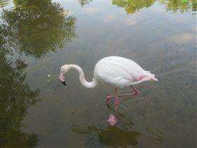 Гордость липецкого зоопарка - розовый фламинго