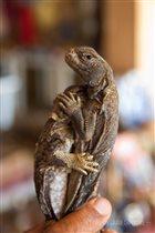 Ромео и Джульетта - саламандры обнимашки