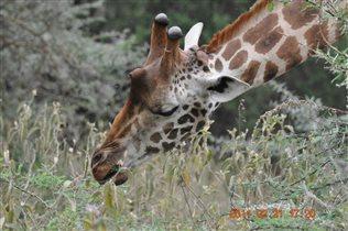 Жираф в кенийском национальном парке