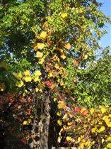 Золотые листья винограда