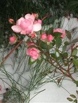 Роза,сорт ''снежная королева'')