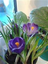 Крокусы, первая радость приближающейся весны
