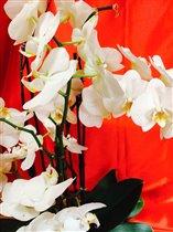 Белоснежная Орхидея