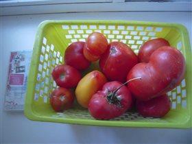 томаты 2015 (1)