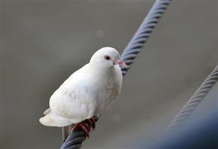 Одинокий голубь...