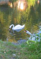 Лебедь на пруду.