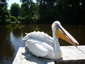 Просто пеликан)