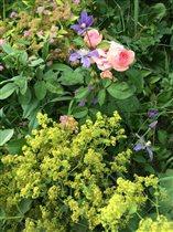 Манжетка, розы, клематис, спирея