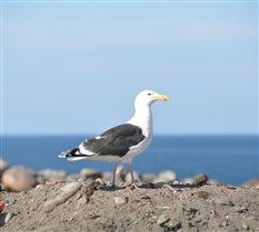 Териберская чайка - на берегу Баренцева моря