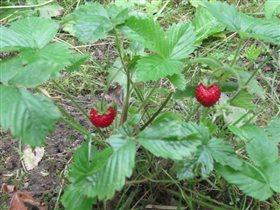 Земляника-ягодка