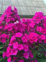 Фиолетовый флокс