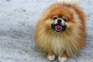 Только собака потеет языком и улыбается хвостом.
