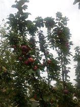 Яблочки наливные. Очень плодородный год!)))