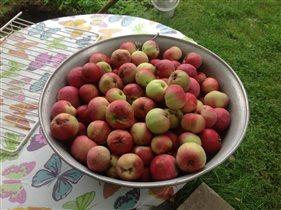 Яблочки с молодой яблоньки