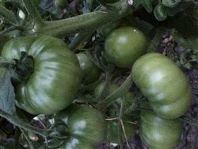 Наш урожай -Помидоры