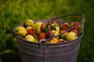 Очень много яблок на даче!!Мы не успеваем есть !)