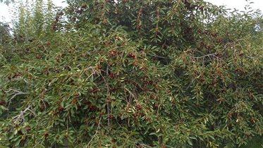 вкусная и спелая вишня